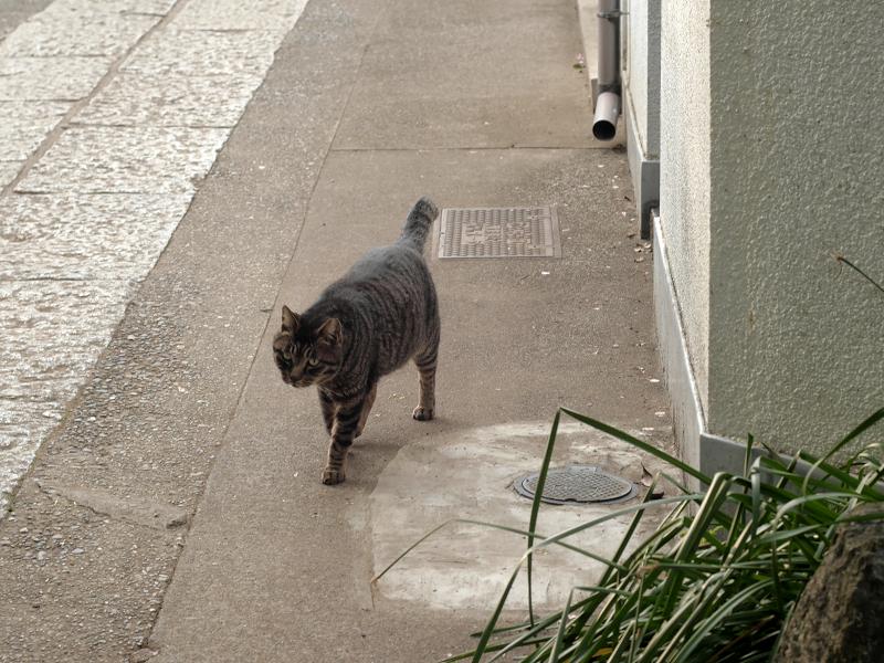 歩いてくるキジトラ猫2