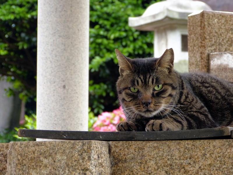 井戸の蓋の上のキジトラ猫3