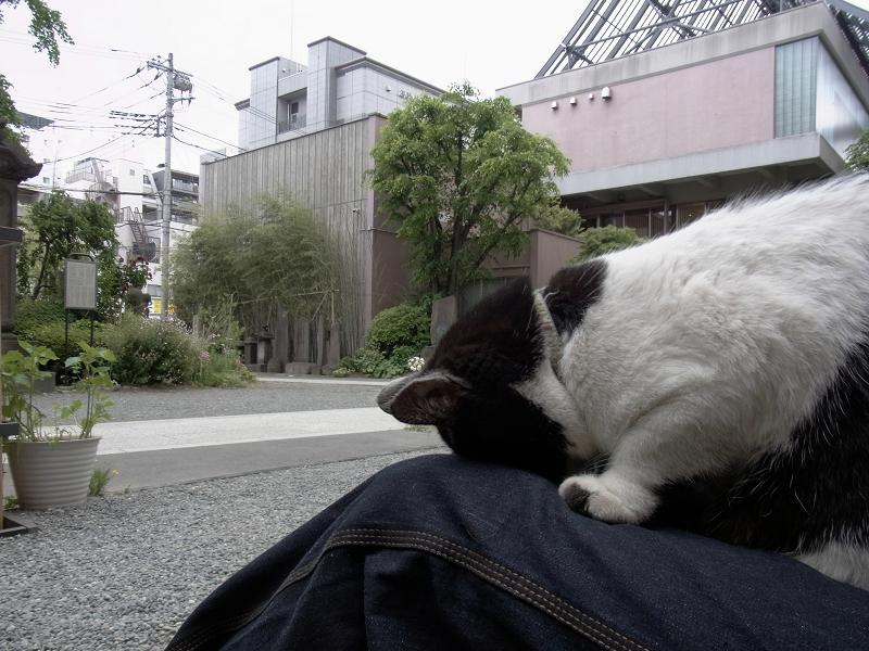 膝で『ごめん寝』する白黒猫3