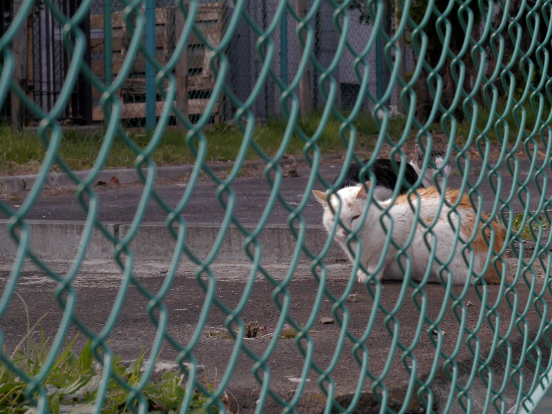フェンス向こう空き地の猫たち2