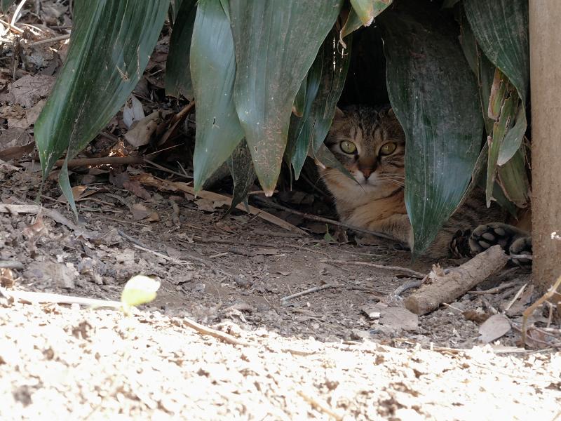 葉っぱの下のキジトラ猫