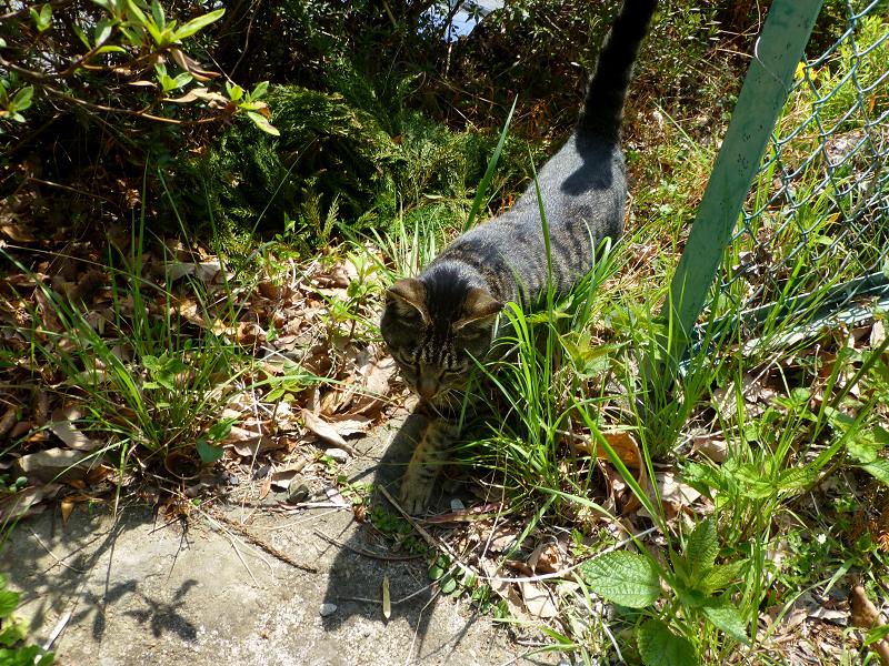 草むらから出てきたキジトラ猫1