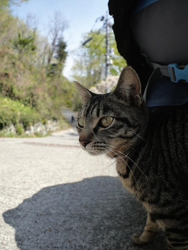 草むらから出てきたキジトラ猫3