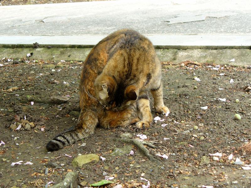 毛づくろいして立ち去るサビ柄猫1