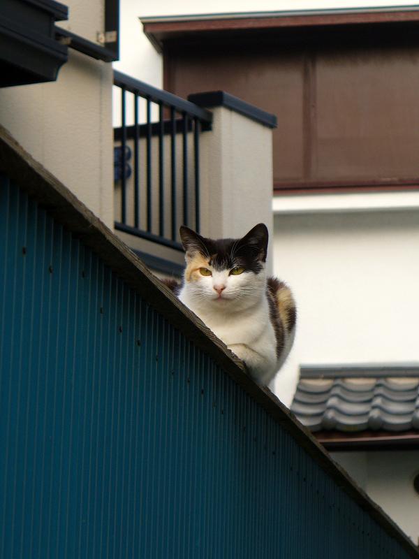 塀に乗ってる三毛猫1