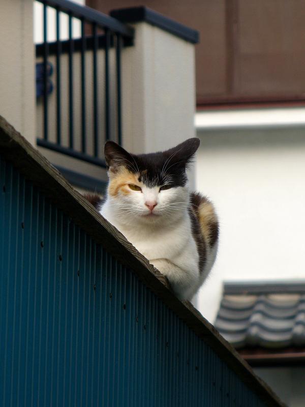 塀に乗ってる三毛猫2