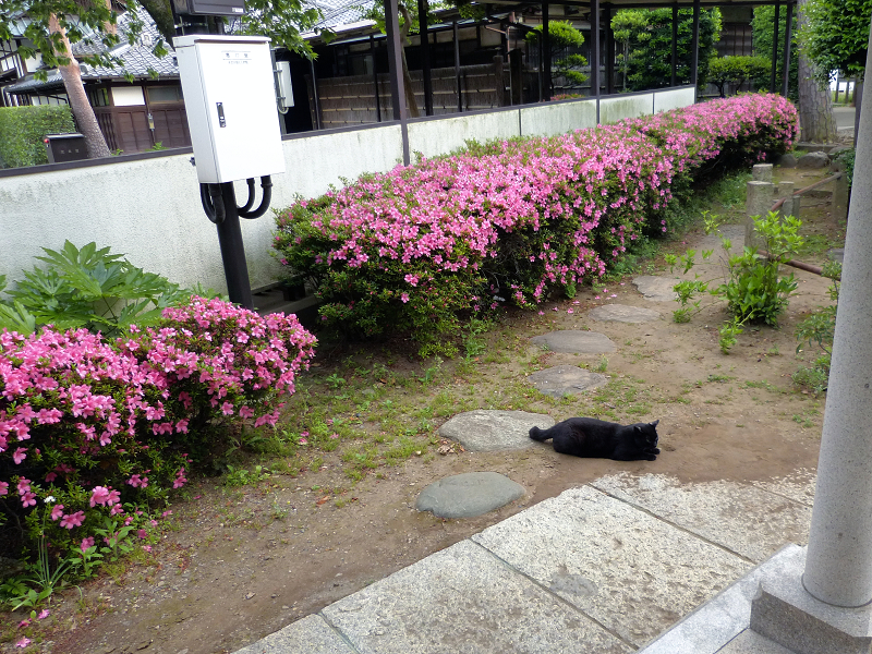 ツツジと黒猫1