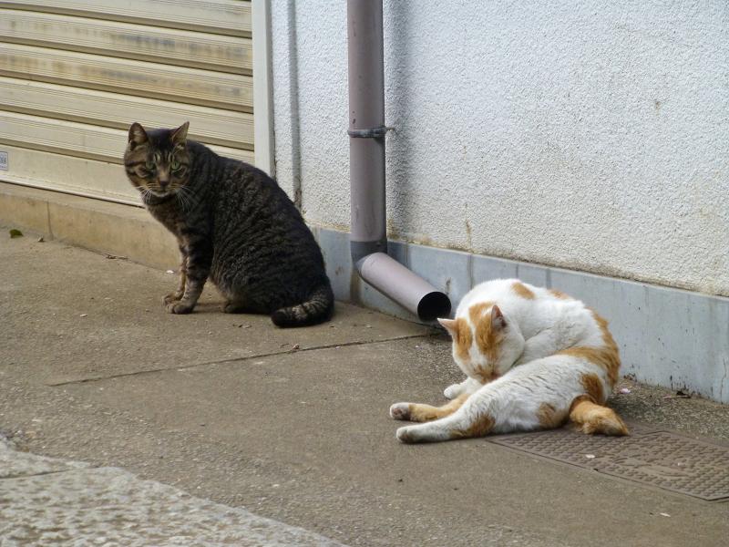 仲良しな白茶猫とキジトラ猫1