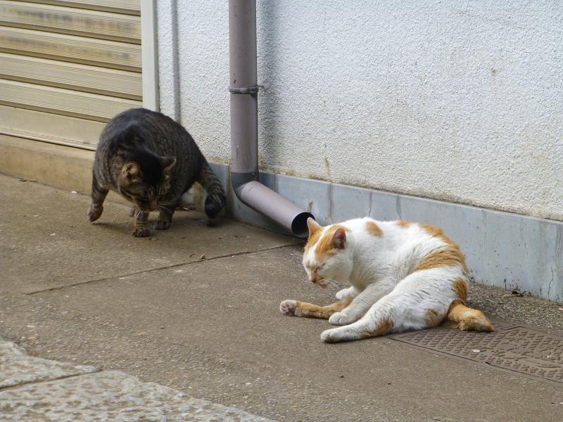 仲良しな白茶猫とキジトラ猫2