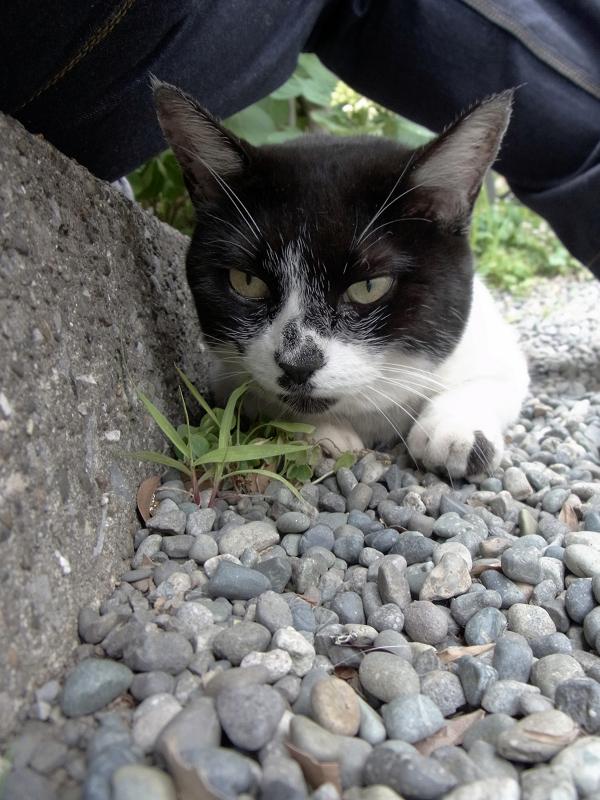 腿の下の白黒猫1