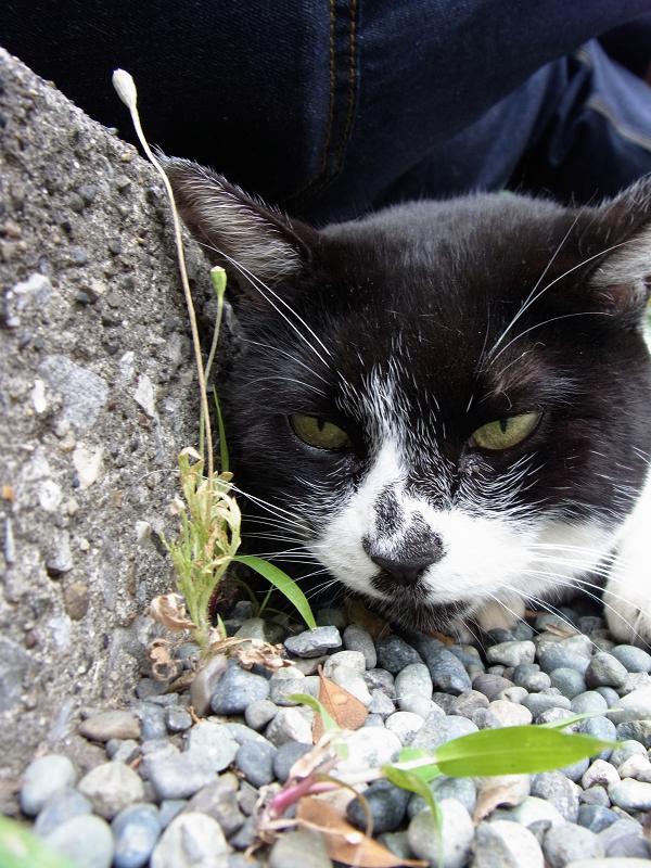 腿の下の白黒猫2