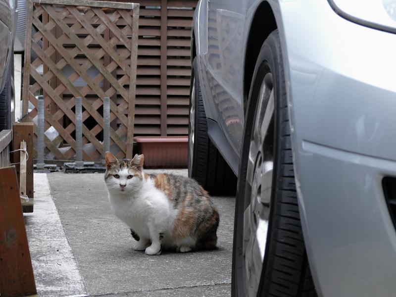 車の横の三毛猫1