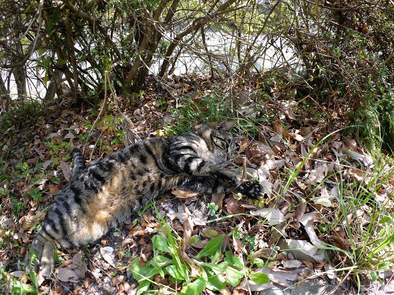 落ち葉の上のキジトラ猫1