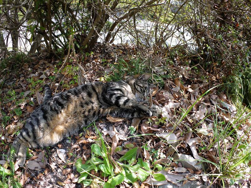 落ち葉の上のキジトラ猫2