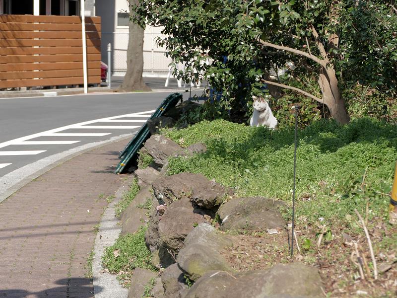 歩道横空き地の白黒猫2