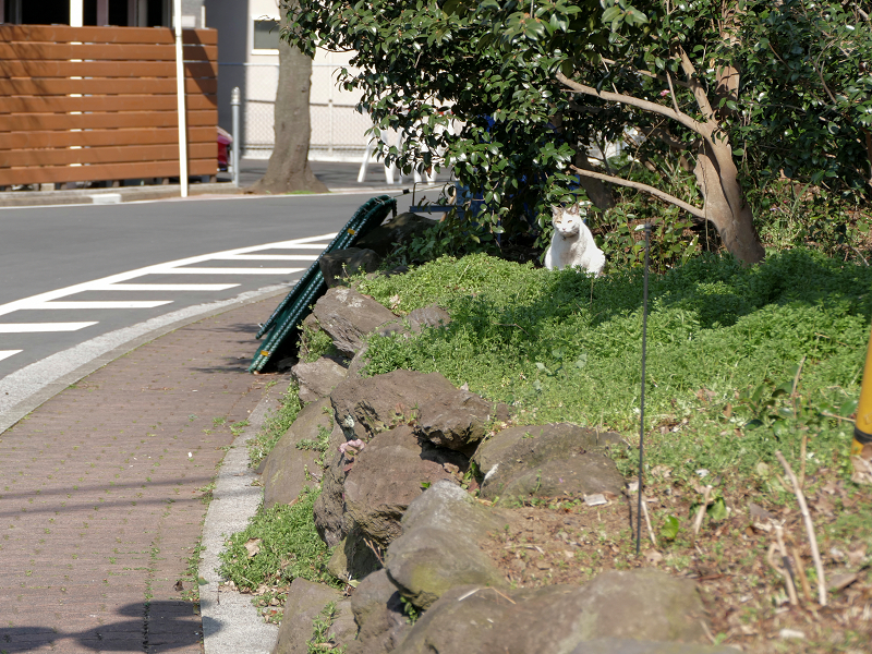歩道横空き地の白黒猫3