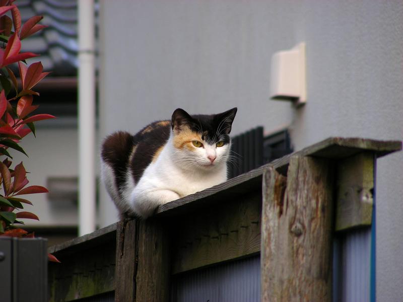 青トタン壁の三毛猫1