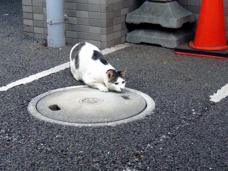 マンションの白キジ猫1
