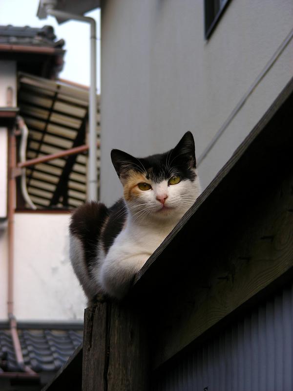 青トタン壁の三毛猫2