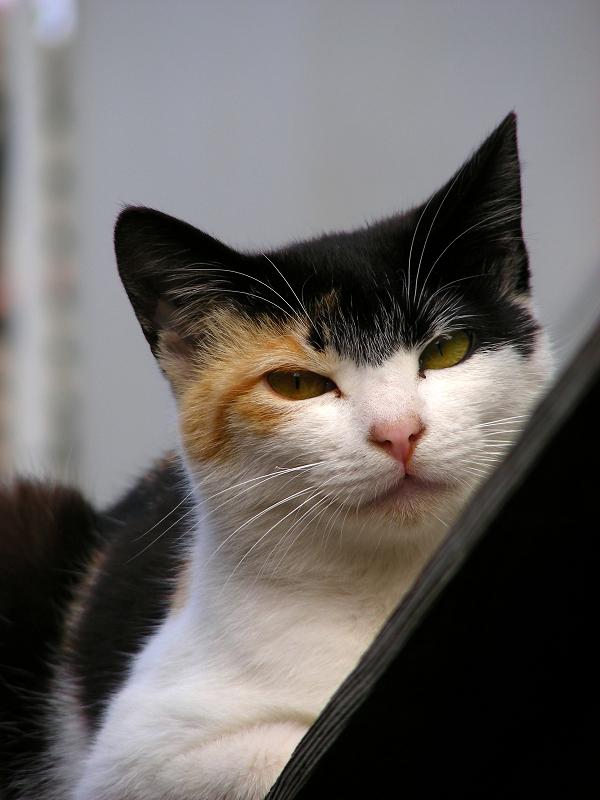 青トタン壁の三毛猫3
