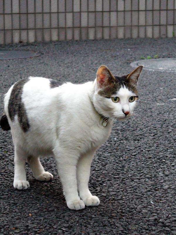 マンションの白キジ猫3