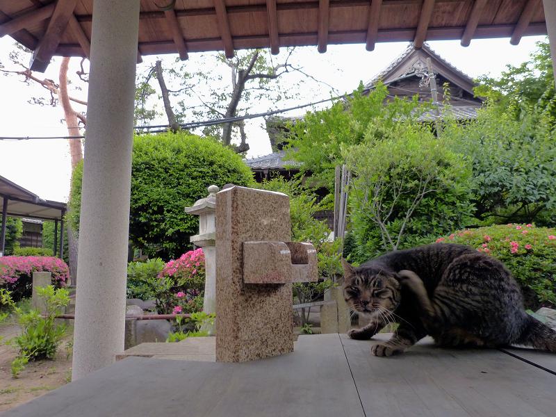 井戸の蓋の上でカキカキキジトラ猫1