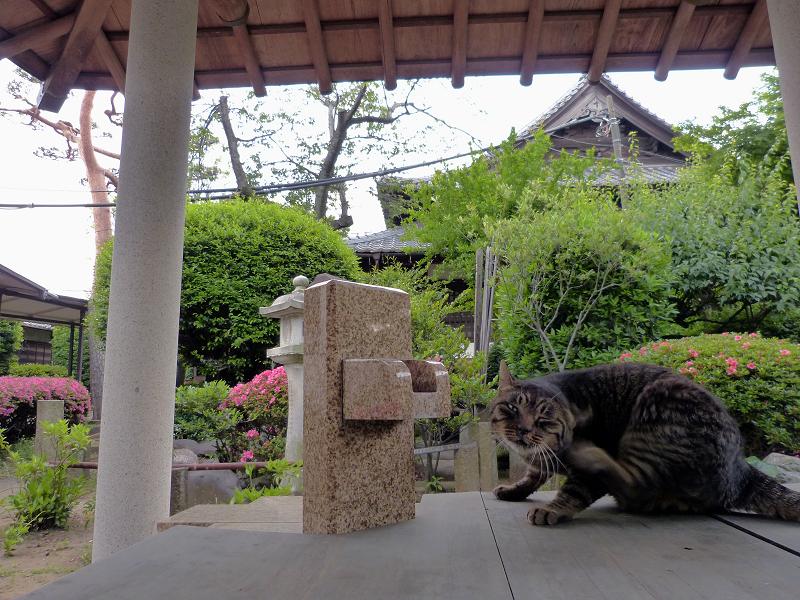 井戸の蓋の上でカキカキキジトラ猫2