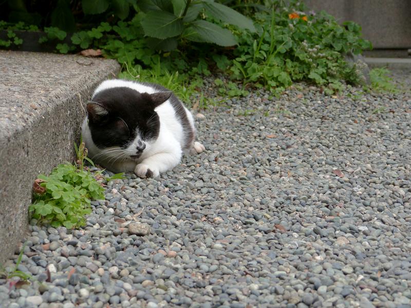 玉砂利で寝てしまう白黒猫1