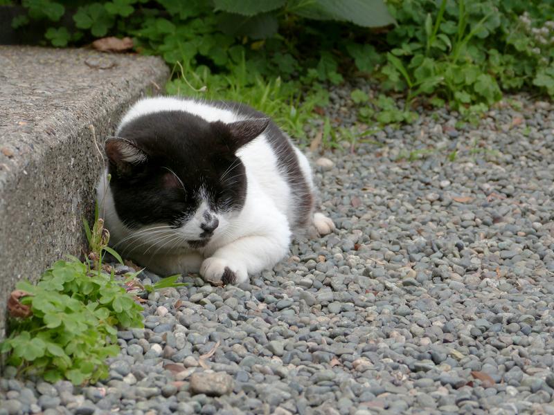 玉砂利で寝てしまう白黒猫2