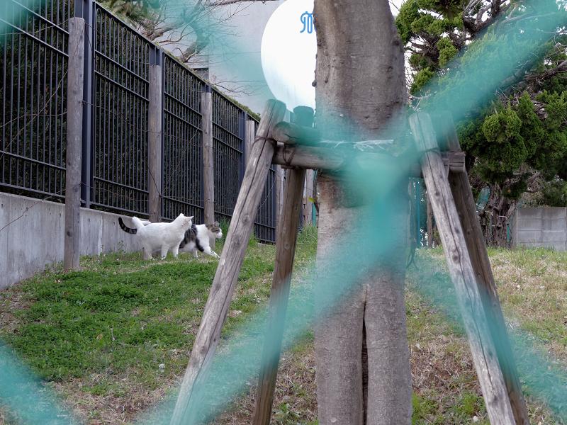 フェンスの向こうの草地の猫たち1
