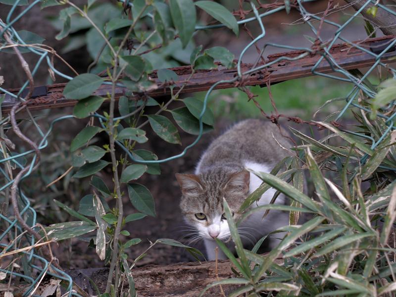 金網穴越しのキジ白猫1