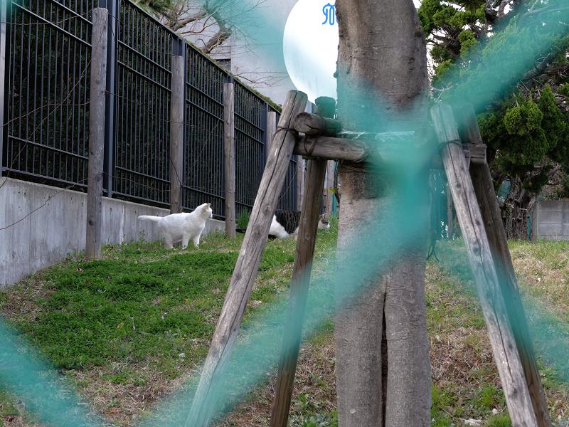 フェンスの向こうの草地の猫たち2