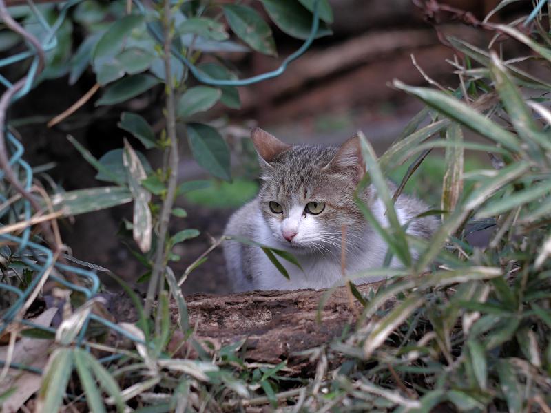 金網穴越しのキジ白猫2