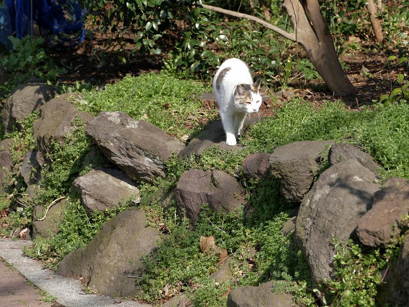 岩と草むらの白キジ猫1