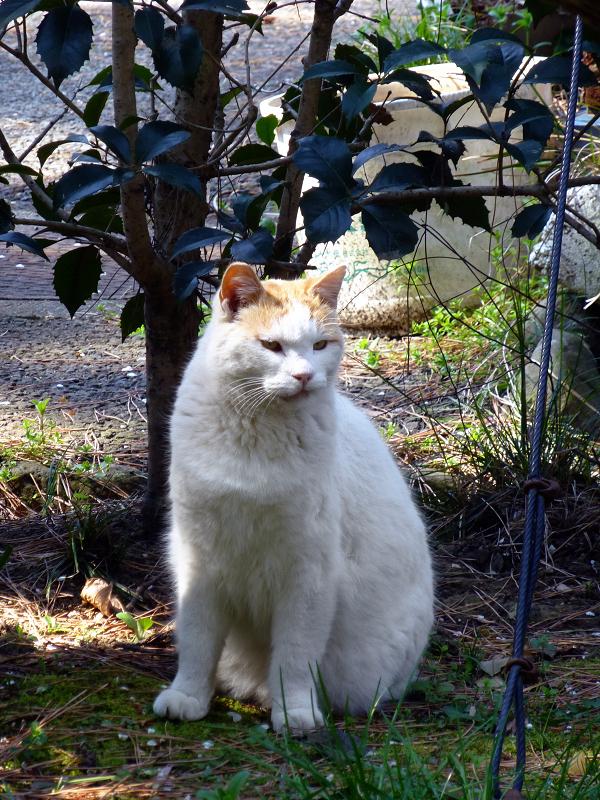 猫道の白茶猫