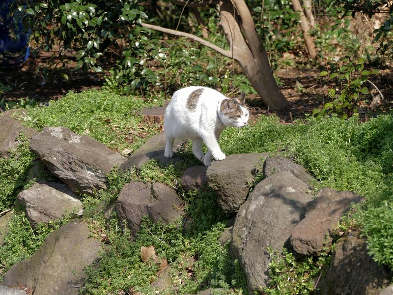 岩と草むらの白キジ猫2