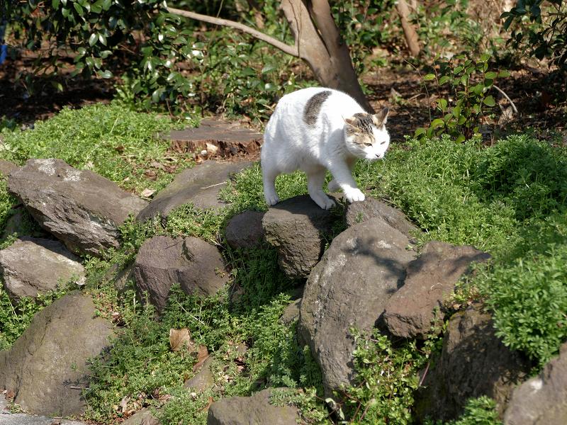 岩と草むらの白キジ猫3