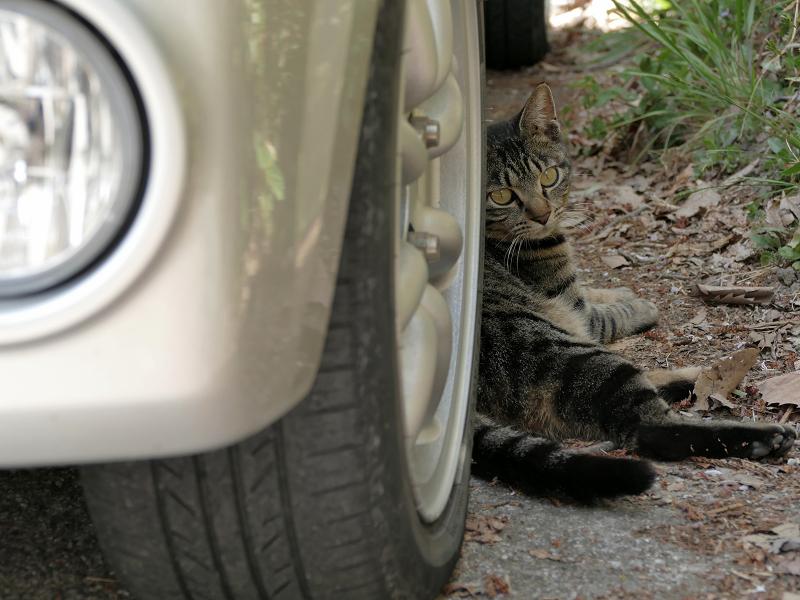 軽自動車とキジトラ猫4