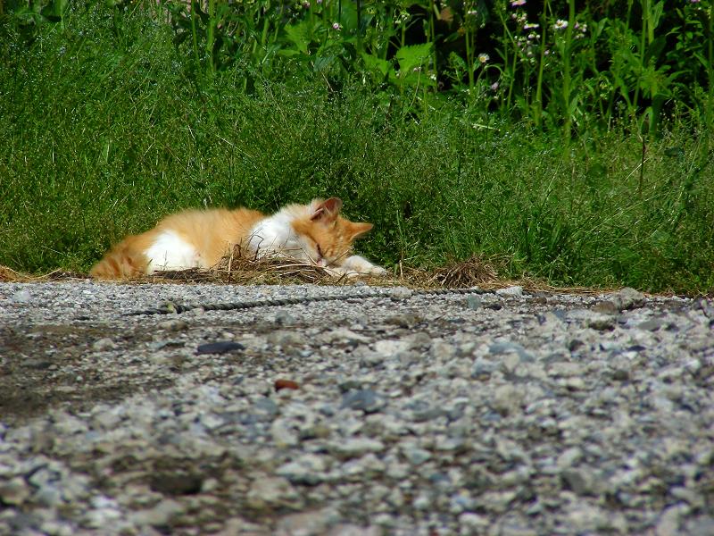 町なか空地の茶白猫1