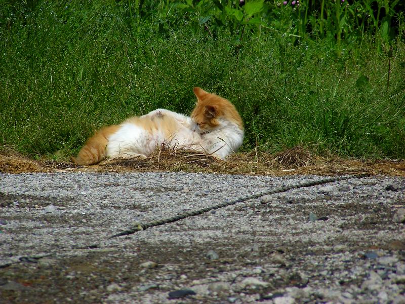 町なか空地の茶白猫2