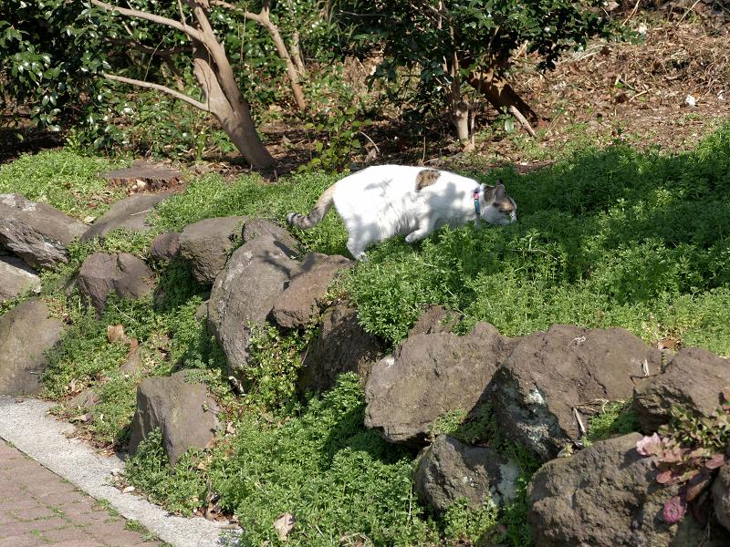 草むらと岩場の白黒猫1