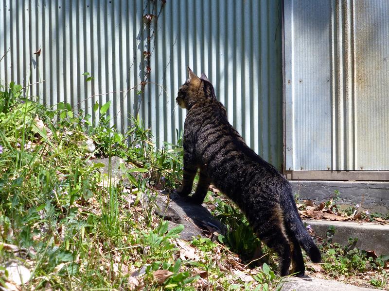上半身を伸ばしてるキジトラ猫1
