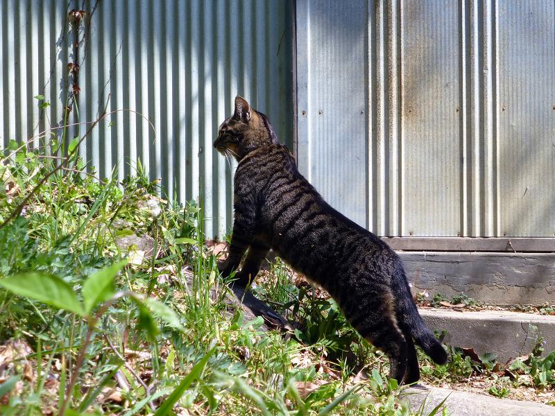 上半身を伸ばしてるキジトラ猫2