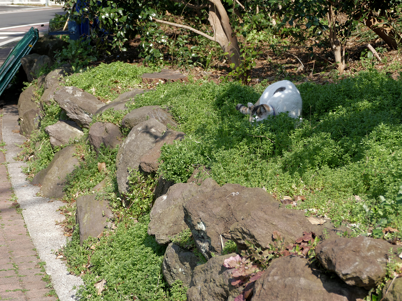 草むらと岩場の白黒猫3