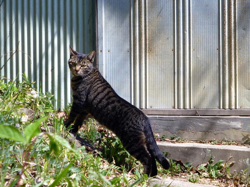 上半身を伸ばしてるキジトラ猫3