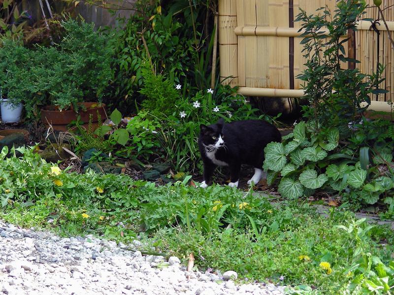 散歩に出かける黒白猫1