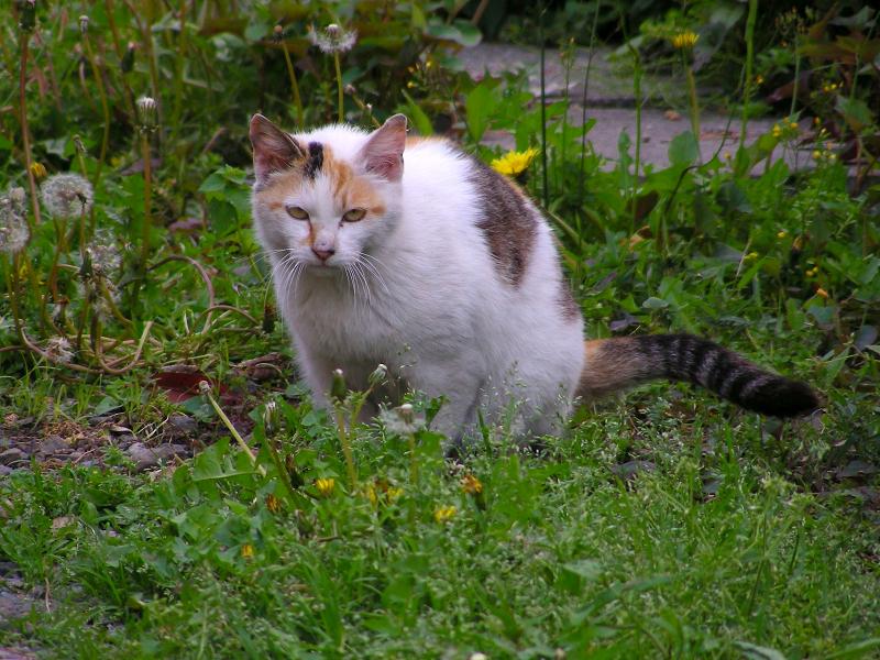 花咲く草むらの白三毛猫1