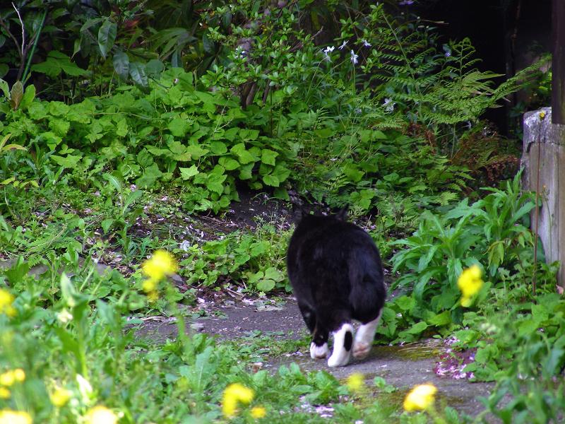 散歩に出かける黒白猫2