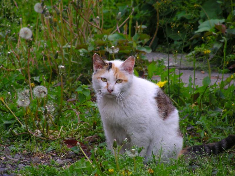 花咲く草むらの白三毛猫2