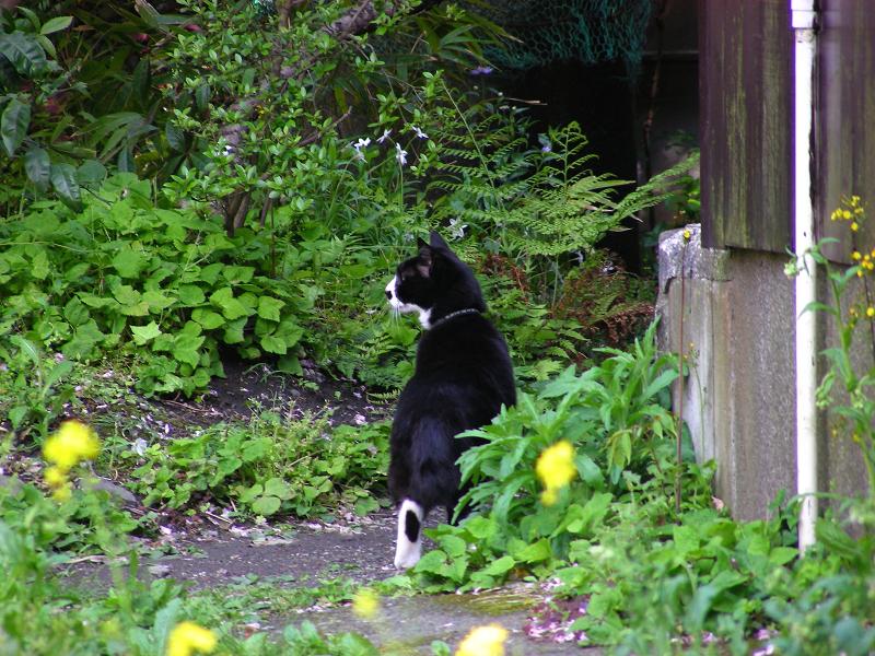 散歩に出かける黒白猫3